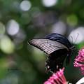 黒アゲハ蝶