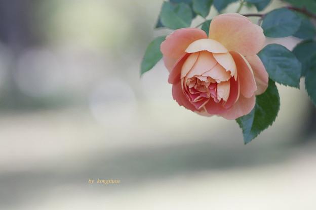 優しい秋バラ