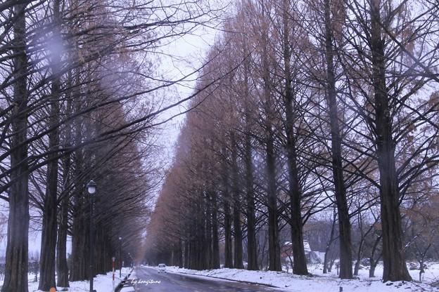 雪のメタセコイア並木