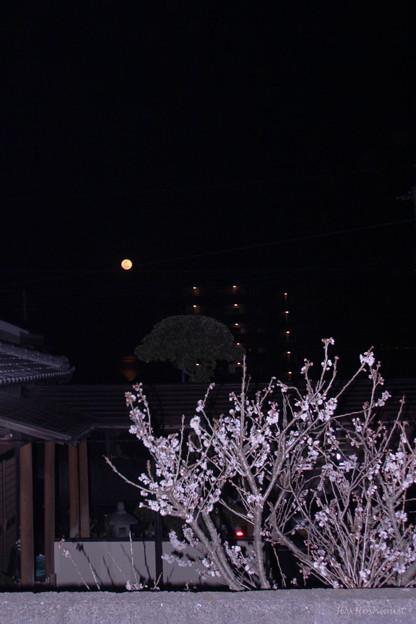 月と寒桜?