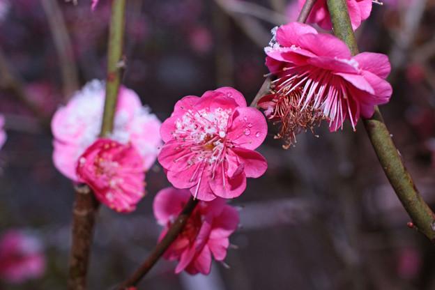 うららかな小春日に咲く紅梅の翻弄されし三寒四温