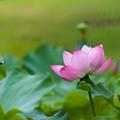 溽暑に咲き誇る