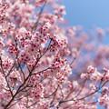 春咲き頬紅