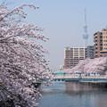 写真: 満開の桜とスカイツリー
