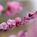 Photos: 桃色の粧い