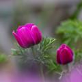 Photos: 紫美人