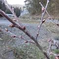 Photos: 3月14日「啓翁桜の蕾」