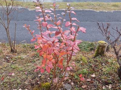 11月13日「ブルーベリーの紅葉」