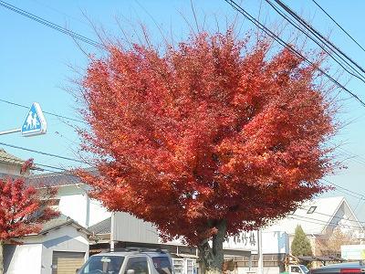 11月29日「紅葉街路樹」