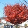 Photos: 11月29日「紅葉街路樹」