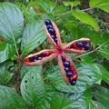 9月13日「紅山芍薬」の種子。