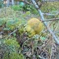 11月1日「木瓜の実」