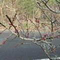 Photos: 1月19日「梅にも春」