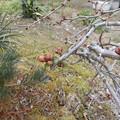 Photos: 2月27日「木瓜の蕾」
