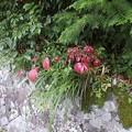 Photos: 7月26日「コマユミ」の紅葉