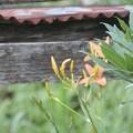 Photos: 7月31日「檜扇」