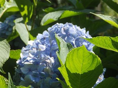 8月3日「紫陽花」