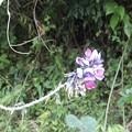 Photos: 9月10日「くずの花」