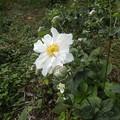 Photos: 9月27日「秋明菊」