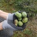 9月29日「木瓜の実」