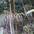 10月31日「タカサゴユリの種苞」