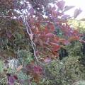 Photos: 11月1日「ブルーベリー紅葉」