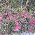 11月3日「コマユミの紅葉」