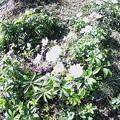 Photos: 11月13日「秋明菊」