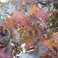 Photos: 11月28日「紅葉」