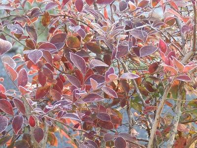 12月8日「紅葉と霜」