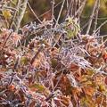 12月11日「楓に霜」