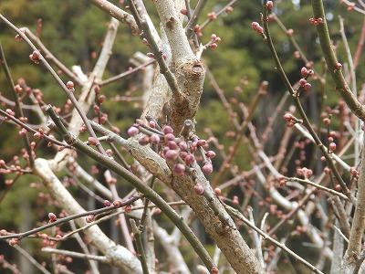 1月17日「梅の蕾」