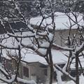 Photos: 1月19日「杏に雪」