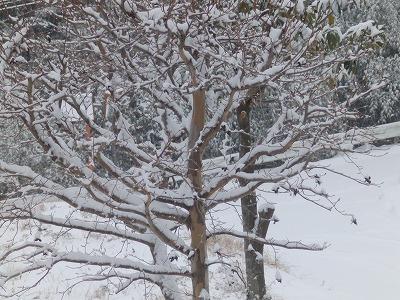 Photos: 1月21日「夏椿に雪」