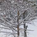 1月21日「夏椿に雪」