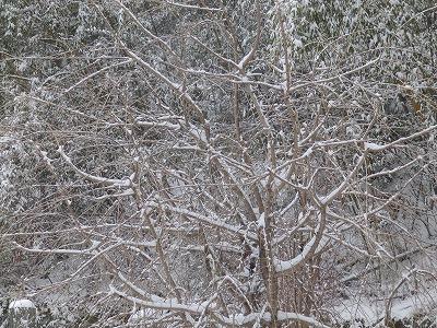 1月22日「紅枝垂れ桜」