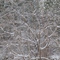 Photos: 1月22日「紅枝垂れ桜」