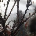 Photos: 1月25日「花桃の花芽」