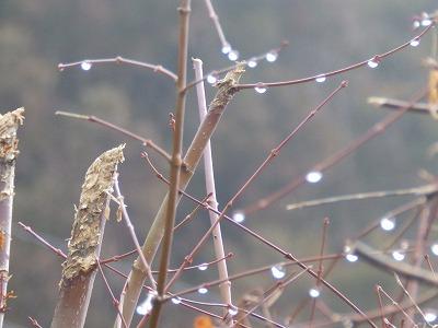 1月26日「楓の雨滴」