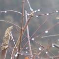 Photos: 1月26日「楓の雨滴」