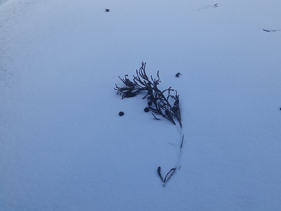 1月28日「雪の上に杉の枝」