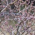 2月13日「紅梅と雨滴」