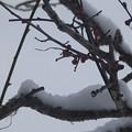 2月18日「淡紅梅に雪」