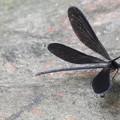 つがいの♀の羽黒トンボ