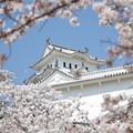 写真: 桜の中の姫路城