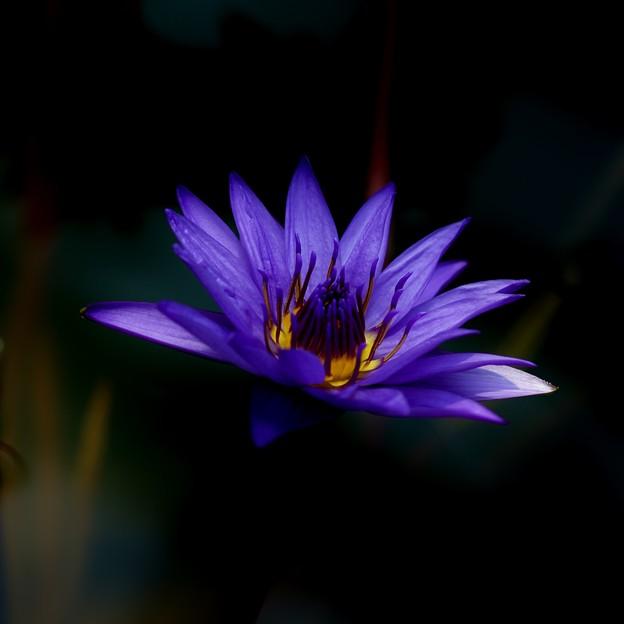 写真: 熱帯睡蓮