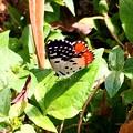 写真: Pierrot Butterfly