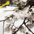 Photos: 凍桜