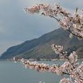 手前に桜、奥にも桜