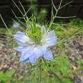 写真: 薄水色、咲きました